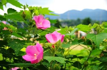 suihuyou_pink.JPG